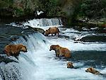 Alaskan brown bears at Katmai National Park