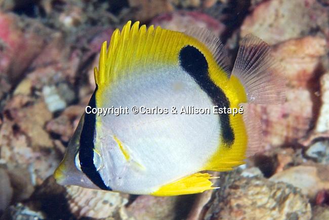Chaetodon ocellatus, Spotfin butterflyfish, juvenile, NE Gulf of Mexico