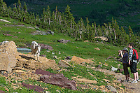 Hikers taking a photo of a Mountain Goat in Glacier National Park, Montana.  Summer.