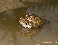 0304-0901  Pair of Toads in Amplexus (Pseudocopulation), Pair of American Toads (Male Tightly Grasping Female) Mating in Temporary Ephemeral Pool of Water,  © David Kuhn/Dwight Kuhn Photography, Anaxyrus americanus, formerly Bufo americanus