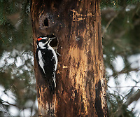 Male Hairy Woodpecker (Leuconotopicus villosus) investigating the crevice in a tree trunk.