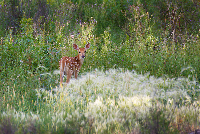 a whitetail fawn in a patch of rye grass in montana