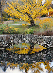 A Blazing Yellow Tree And Stone Bridge Over A Quiet Pond, Autumn In The Park, Southwestern Ohio