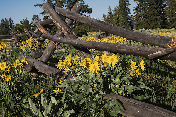 Arrowleaf Balsamroot (Balsamorhiza sagittata), Grand Teton National Park, Wyoming, USA