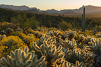 Sunrise light illuminates the cholla cactus, ocotillo and blooming brittlebush in Organ Pipe National Monument, Arizona.