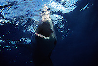GREAT WHITE SHARK Carcharodon carcharias SOUTH AUSTRALIA..