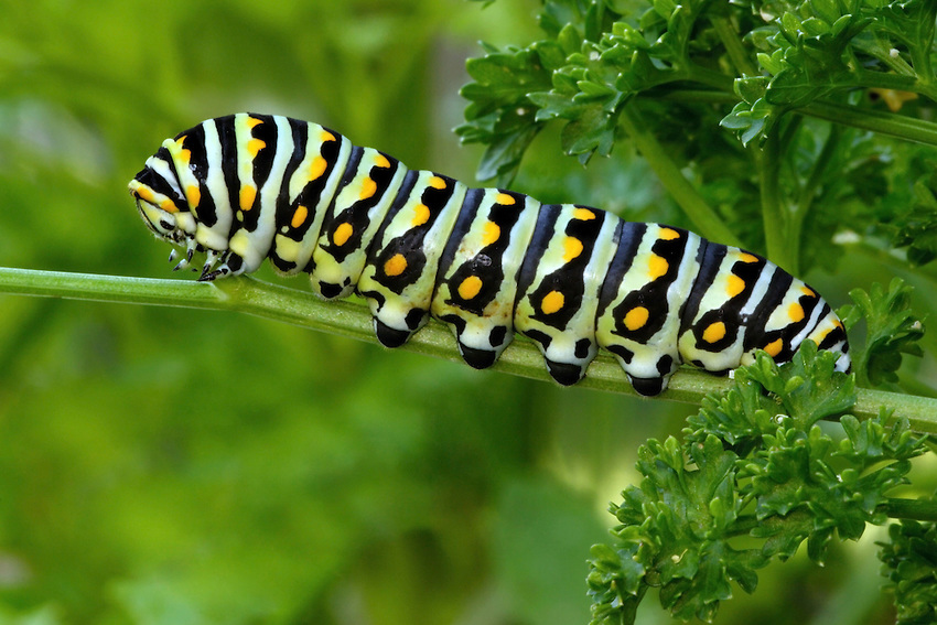 American or 'Black' Swallowtail caterpillar feeding on parsley.