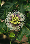 12469-CM Flower of Passion Fruit, Passiflora edulis, vine, at arboretum of California State University, Fullerton USA.