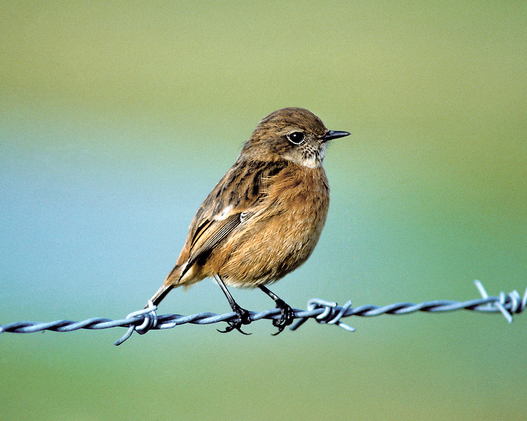 Stonechat Saxicola torquata - Juvenile/First winter. L 12-13cm. Small, compact bird. When perched, flicks short, dark tail and utters harsh alarm call. Sexes are dissimilar. Adult male has blackish head, white on side of neck, and dark back. Breast is orange-red, grading into pale underparts. In autumn, pale feather fringes make head appear paler. Adult female is similar but colours are muted and plumage is more streaked. 1st winter bird has streaked sandy brown upperparts and head, and buffish orange underparts. Voice Utters harsh tchak call, like two pebbles knocked together. Song is rapid and warbling. Status Locally common heaths, commons and gorse-covered slopes near coast. Some dispersal, mainly to coasts, occurs in winter.<br /> nature photographers #