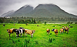 Under the grey foreboding skies of Mount Misery  local dairy cows come to inspect the human visitor to their damp patch of greenery...This New Zealand Fine Art Landscape Print, available in four sizes on either archival Hahnemuhle Fine Art Pearl paper or canvas, is printed using Epson K3 Ultrachrome inks and comes with a lifetime guarantee against fading..All prints are signed and numbered on the lower margin and come with my 100% money back guarantee on the purchase price, should you not be  completely happy with the quality of the delivered print or canvas.