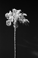 Palm Tree, Rollei Infrared 400 Film