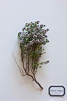 Europe/France/Ile-de-France/75012/Paris:Thym - thymus vulgaris.<br />  Plantes médicinales- Jardin de l'Ecole du Breuil dans le Bois de Vincennes