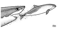 Great white shark, Carcharodon carcharias, catching harbour porpoise, Phocoena phocoena, pen and ink illustration.