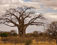 A baobab tree in Tarangire National Park, located in northern Tanzania, East Africa