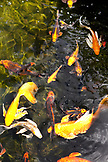 MAURITIUS, Chemin Grenier, South Coast, coy fish swim in a pool by the spa, Hotel Shanti Maurice