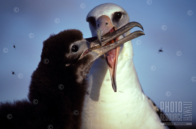 Laysan Albatross feeding chicks on Laysan Island. Note flies.