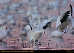 Snow Geese Landing at Dawn, Bosque del Apache Wildlife Refuge, New Mexico