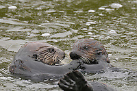 Sea Otter (Enhydra lutris) mom (left) with 3 to 4 month old juvenile.