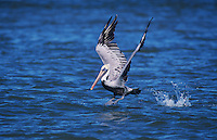 Brown Pelican, Pelecanus occidentalis, adult taking off, Sanibel Island, Florida, USA, Dezember 1998