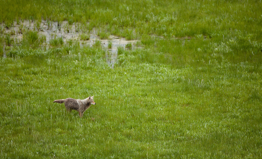 A single coyote hunts in a grassy plain.