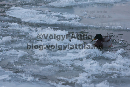 Wild duck swims among large blocks of ice on river Danube in Budapest, Hungary on January 11, 2017. ATTILA VOLGYI