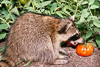 Raccoon, Procyon lotor, eating tomato from summer vegetable garden, Missouri USA