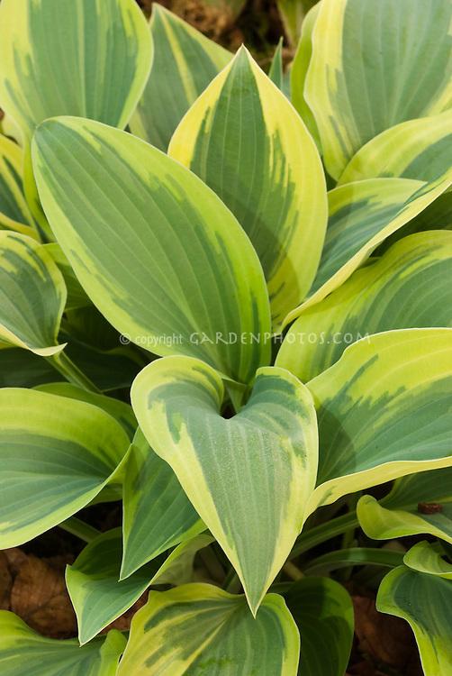 Shade plant Hosta Wolverine with ornamental foliage