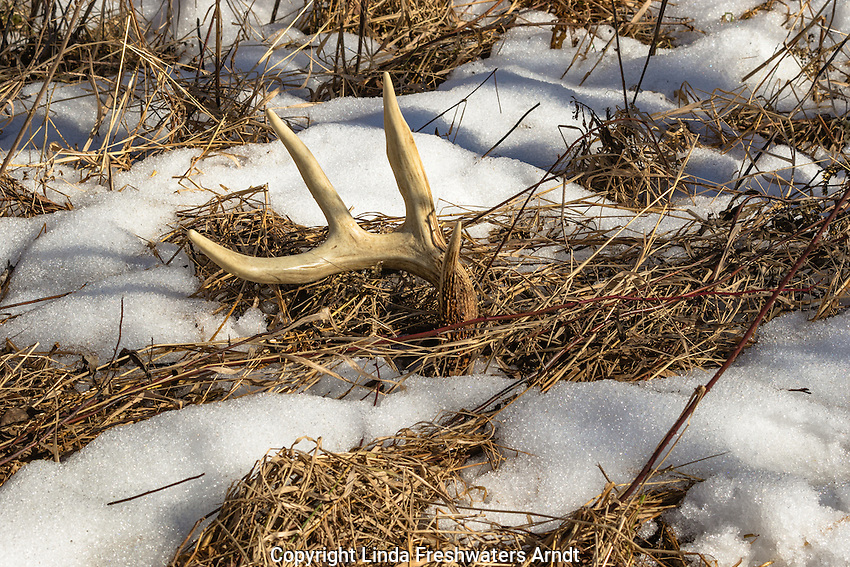 Antler shed in northern Wisconsin