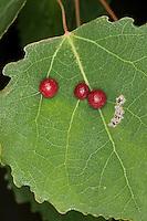 Pappelblattgallmücke, Pappelblatt-Gallmücke, Zitterpappel-Blattgallmücke, Gallmücke hat Galle auf dem Blatt einer Zitterpappel, Espe, Pappel erzeugt, Harmandia spec., aspen leaf gall midge, poplar leaf gall midge