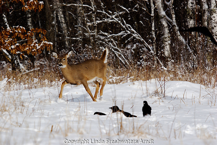 White-tailed deer (Odocoileus virginianus) frightened by some ravens.  Winter, WI