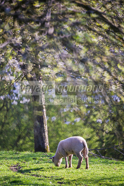 Europe/France/Normandie/Basse-Normndie/50/Manche/Mortain: Moutons dans le bocage normand