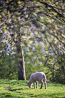 Europe/France/Normandie/Basse-Normndie/50/Manche/Mortain: Moutons dans le bocage normand