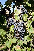 Vigneti dei signori Franchini presso Montescano (Pavia) nell'Oltrepò Pavese. Grappolo di uva nera --- Franchini's vineyards near Montescano (Pavia) in the Oltrepò Pavese. Bunch of black grapes
