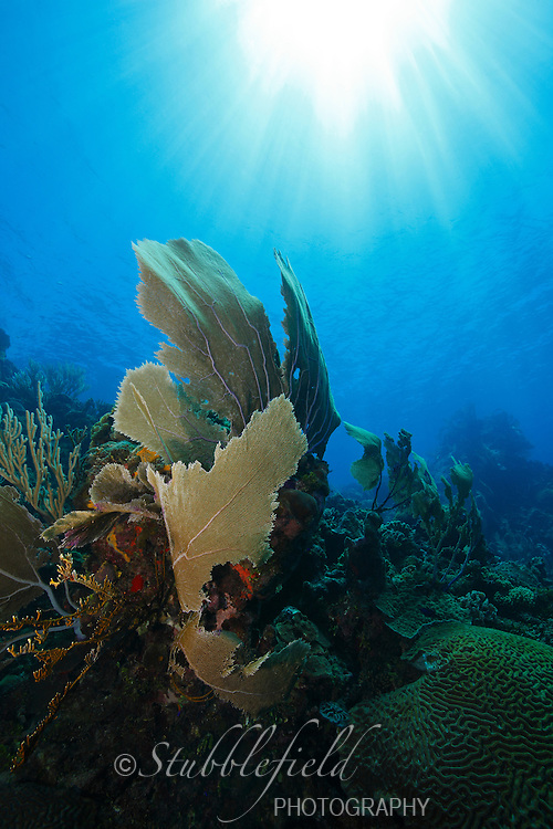 Sea Fan on a tropical coral reef with rays of sunlight from above, Roatan, Honduras