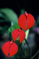 Masdevallia coccinea orchid species