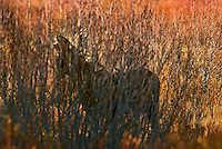Bull Moose (Alces alces) smelling for cow moose during fall rut, Western U.S., fall.