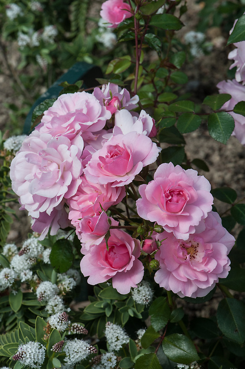 Rosa Bonica ('Meidomonac'), mid June. A modern shrub rose producing dainty clusters of attractive, small to medium-sized rose-pink flowers. It produces its flowers very freely and repeats well.