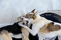 Iditarod sled dogs playing while waiting to take off in Iditarod dogsled race