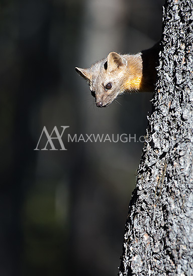 A pine marten pauses during an autumn foray in the woods.