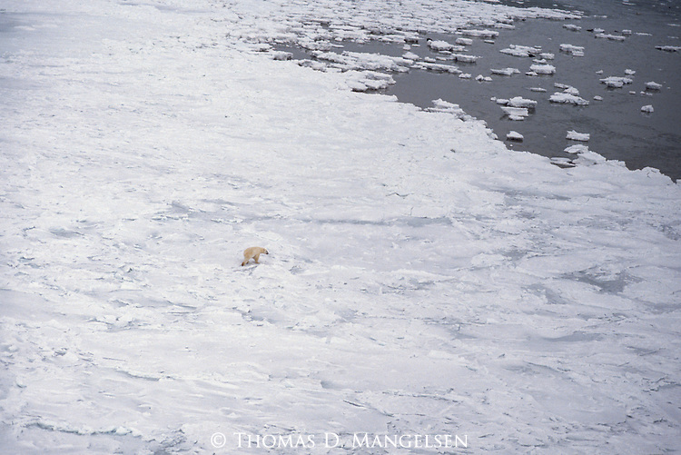 An aerial view of a polar bear walking across an ice field.