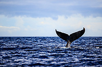 A humpback whale shows its tail before diving down in the waters of Lahaina, Maui.