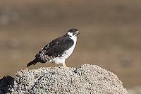 Augur Buzzard in the Bale Mountains of Ethiopia