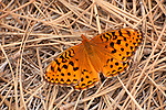 Great spangled fritillary (Speyeria cybele) resting on pine needles in the Stanislaus National Forest, Calaveras County, Calif.