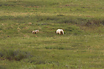 Gray wolves and  brown bears are the great predators of the North Slope.