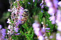 A bee on Heather flowers.