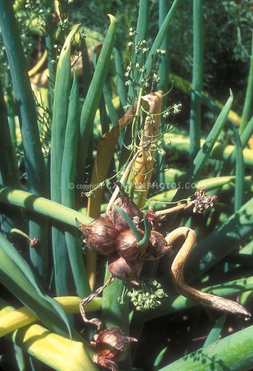 Onions Egyptian Top  tree type