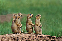 673030141 wild utah prairie dogs cynomys parvidens a threatened species sit by their burrow in bryce canyon national park utah united states