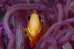 Anemonefish inPink Anemone 8-18-4320, Dumaguette, Philippines, Atmosphere House Reef. COmpliments Dream Tour 3, 2018