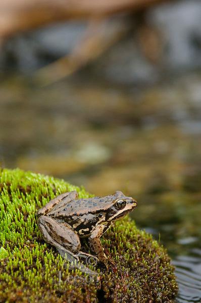 Cascades Frog (Rana cascadae), Pacific Northwest mountains, summer.