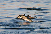 Sunrise on long-beaked common dolphin (Delphinus capensis) in the Gulf of California (Sea of Cortez) , Mexico, Pacific Ocean